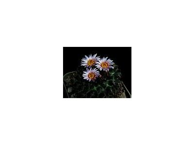 Photo Small Cactus 113 Flower