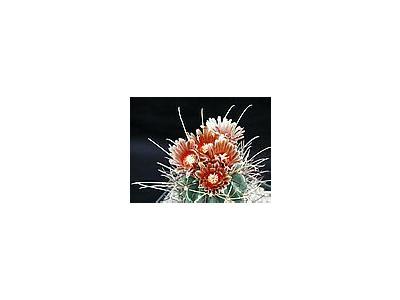Photo Small Cactus 114 Flower