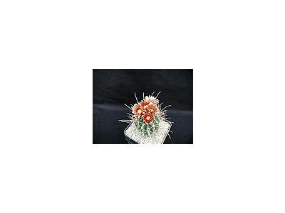 Photo Small Cactus 116 Flower