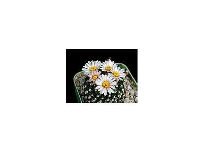 Photo Small Cactus 117 Flower