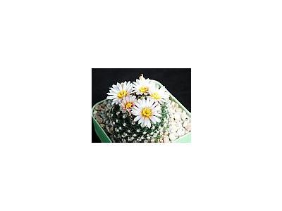 Photo Small Cactus 123 Flower