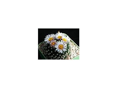 Photo Small Cactus 125 Flower