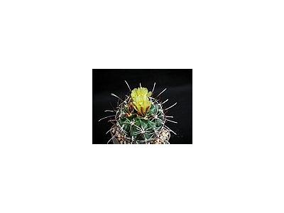 Photo Small Cactus 126 Flower