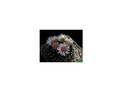 Photo Small Cactus 129 Flower