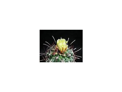 Photo Small Cactus 130 Flower