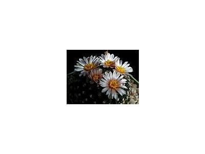 Photo Small Cactus 131 Flower