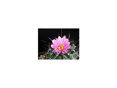 Photo Small Cactus 132 Flower