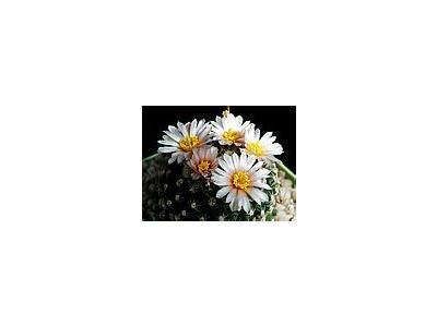 Photo Small Cactus 133 Flower