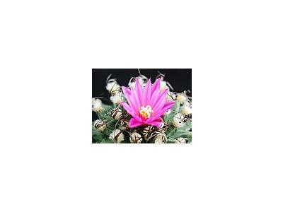 Photo Small Cactus 134 Flower