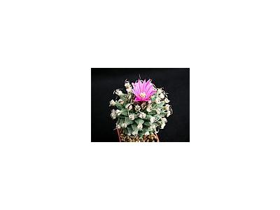 Photo Small Cactus 135 Flower