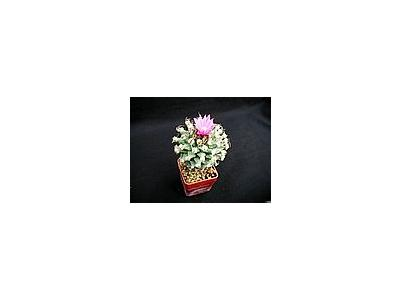 Photo Small Cactus 136 Flower