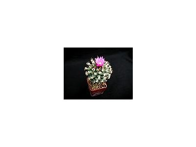 Photo Small Cactus 137 Flower