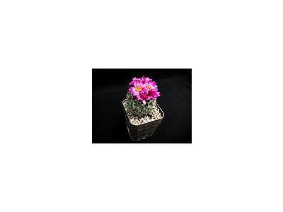Photo Small Cactus 138 Flower