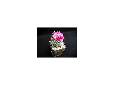 Photo Small Cactus 139 Flower