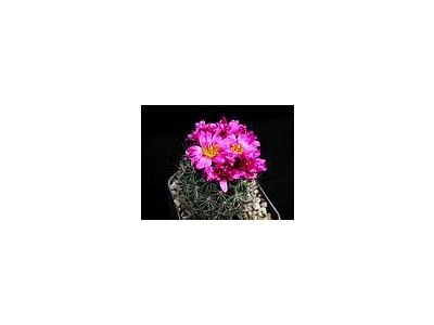Photo Small Cactus 141 Flower