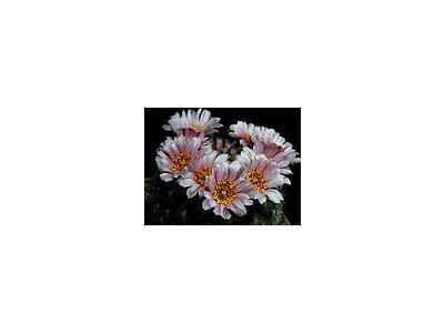Photo Small Cactus 143 Flower