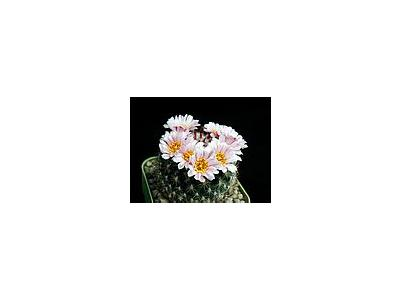Photo Small Cactus 146 Flower