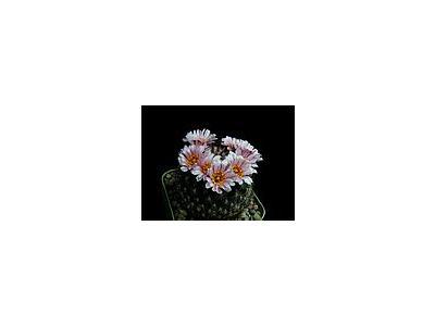 Photo Small Cactus 149 Flower