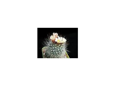 Photo Small Cactus 151 Flower