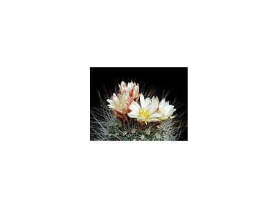 Photo Small Cactus 152 Flower