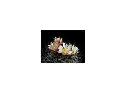 Photo Small Cactus 153 Flower