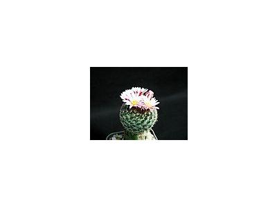 Photo Small Cactus 163 Flower
