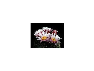 Photo Small Cactus 164 Flower
