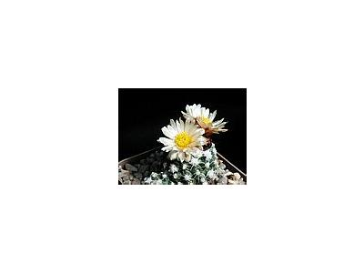 Photo Small Cactus 165 Flower