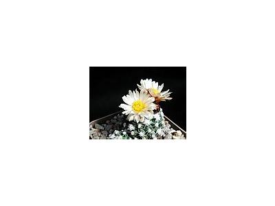 Photo Small Cactus 166 Flower