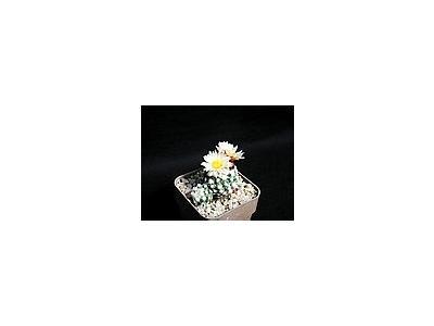 Photo Small Cactus 167 Flower