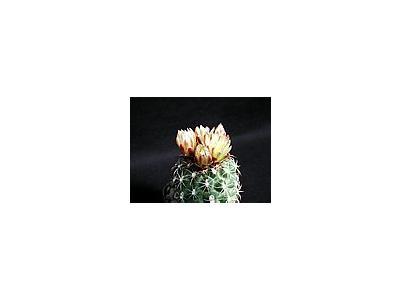 Photo Small Cactus 169 Flower