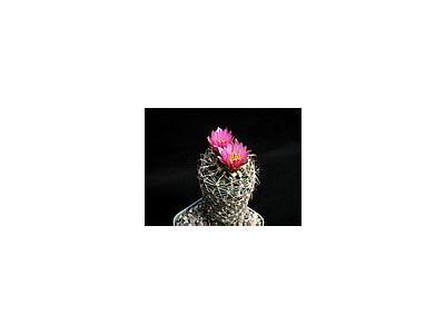 Photo Small Cactus 172 Flower