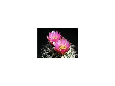 Photo Small Cactus 174 Flower