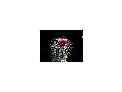 Photo Small Cactus 178 Flower