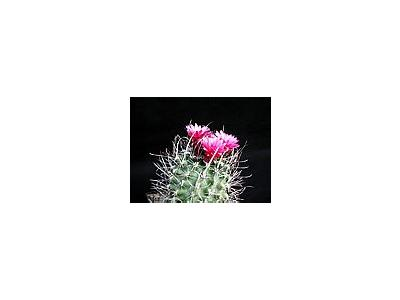 Photo Small Cactus 180 Flower