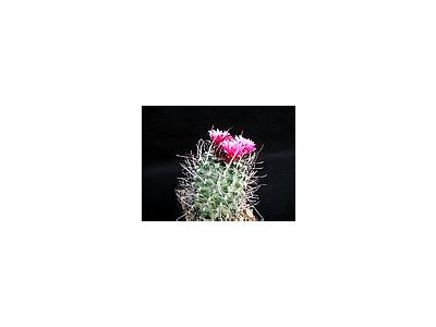Photo Small Cactus 181 Flower