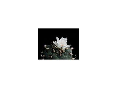 Photo Small Cactus 183 Flower