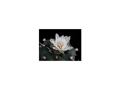 Photo Small Cactus 184 Flower