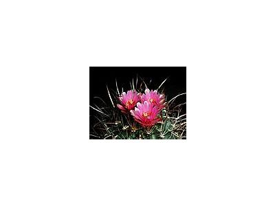Photo Small Cactus 185 Flower