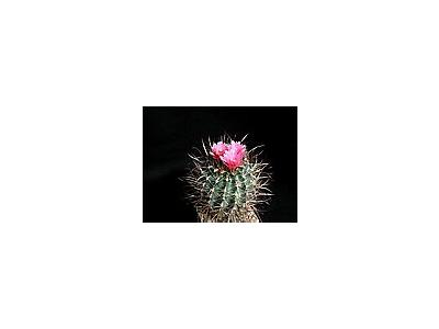 Photo Small Cactus 186 Flower
