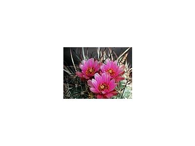 Photo Small Cactus 187 Flower