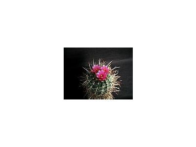 Photo Small Cactus 188 Flower