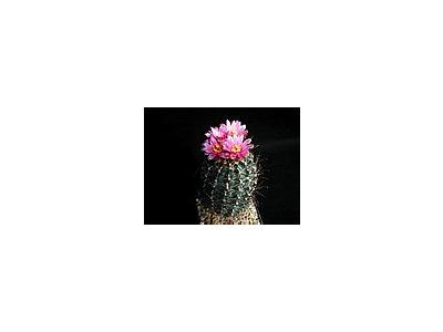 Photo Small Cactus 189 Flower