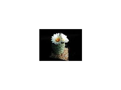 Photo Small Cactus 192 Flower