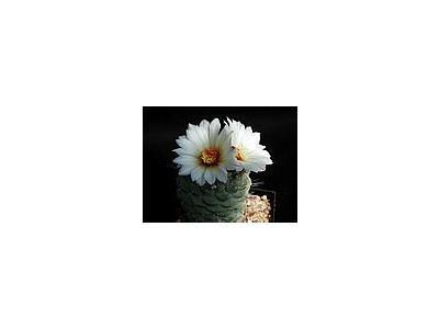 Photo Small Cactus 193 Flower