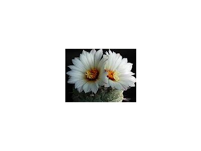 Photo Small Cactus 194 Flower