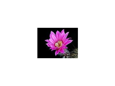 Photo Small Cactus 202 Flower