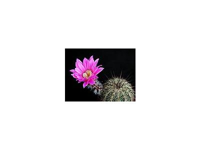Photo Small Cactus 203 Flower