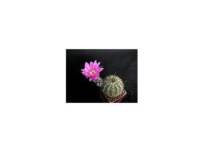 Photo Small Cactus 204 Flower