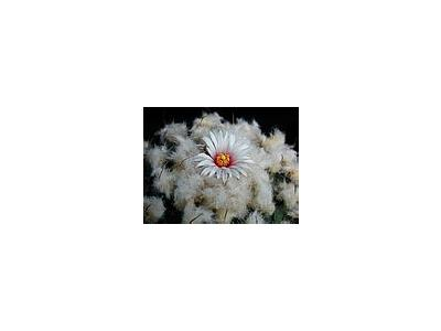 Photo Small Cactus 209 Flower